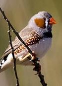 Giacomo Leopardi: Eloge des oiseaux